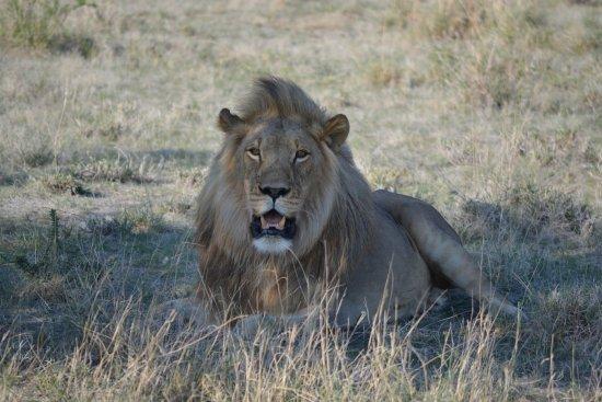 Jack's Camp: Kalahari male lion sighting