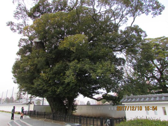 Oshi Tree of Mito Castle Remains