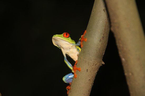 Vapues Nicaragua Tours: Frog in the coffee plantation