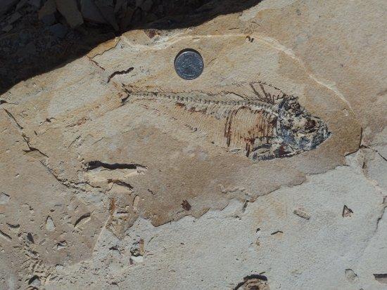 Ulrich's Fossil Gallery: Un poisson fossile en place dans la carrière.
