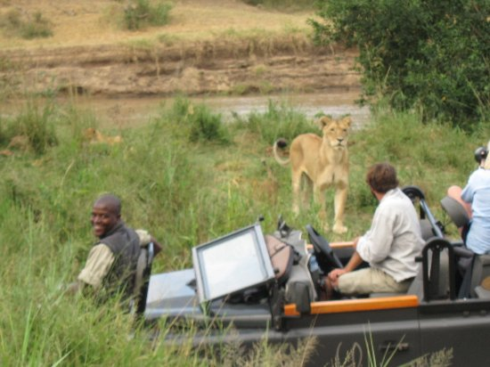 Leopard Hills Private Game Reserve, South Africa: Lioness within inches of the safari vehicle