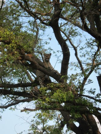 Leopard Hills Private Game Reserve, South Africa: Leopard in the tree tops