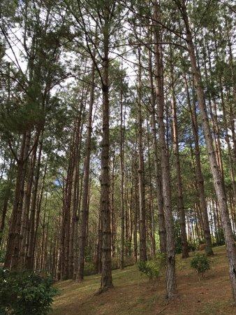 Dalat Edensee Resort & Spa: pine trees