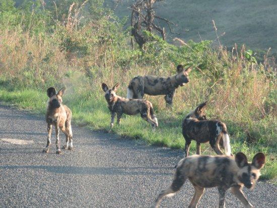 Zululand, Sydafrika: African Wild Dog