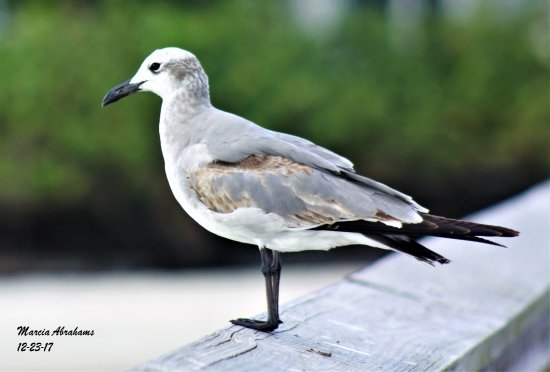 Jensen Beach, Φλόριντα: Lesser black backed gull - Indian Riverside Park