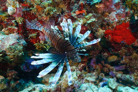 CoCo View Resort: Lion Fish have arrived.