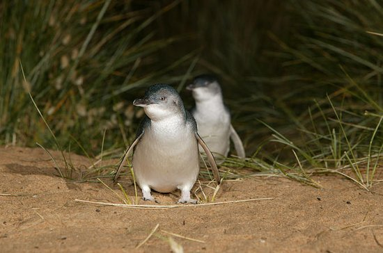 Phillip Island Penguin Parade ...