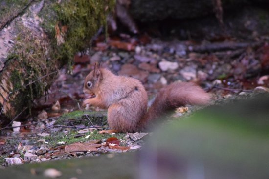 Shap Wells Hotel: Red squirrel