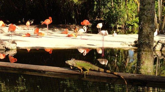 Flamingo Gardens: flamingos and iguana