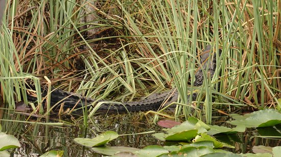 Coopertown Airboats: alligator has no interest to you