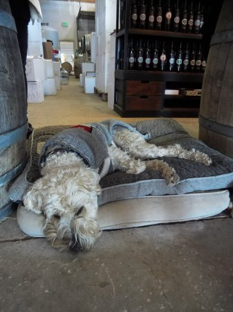 Elgin, AZ: Kiva, the soft-coated Wheaten Terrier