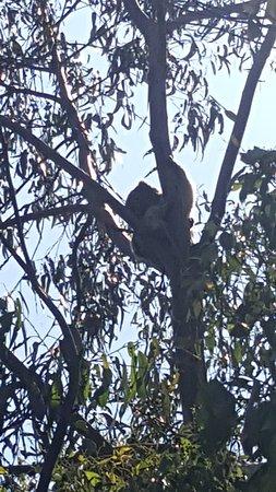 Cowes, Australia: Koalas......