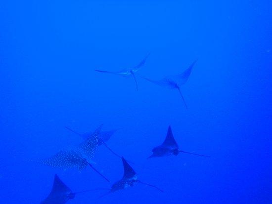 Maldives Passions: Eagle rays