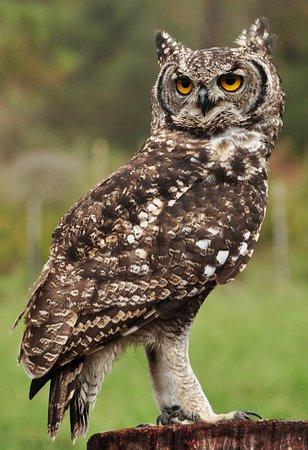 Radical Raptors: Charlie the sotted eagle owl