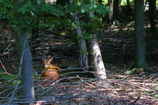 Beernem, Belgia: Hier zie je een ree, familie van de hertachtigen