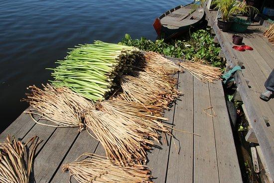 Prek Toal Bird Sanctuary: Water hyacinth stalks drying