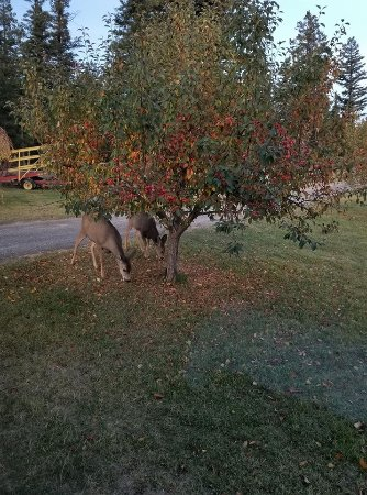 Jesmond, Canada: The deer and the horses enjoyed the crab apples beside our cabin.