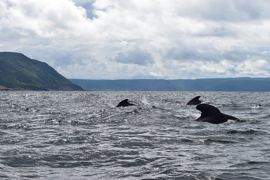 Bay St. Lawrence, Canadá: Spending time with pilot whales!