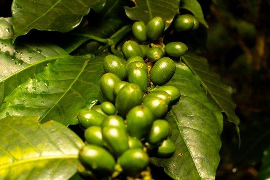 planta de café de nuestro jardín picture of siete hierbas hostel