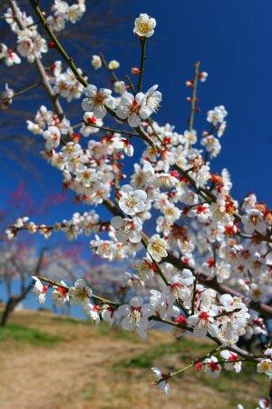 Hitoyoshi Pulm Garden: 春の人吉梅園・2