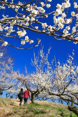 Hitoyoshi Pulm Garden: 春の人吉梅園・4