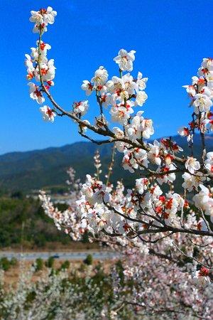 Hitoyoshi Pulm Garden: 春の人吉梅園・5