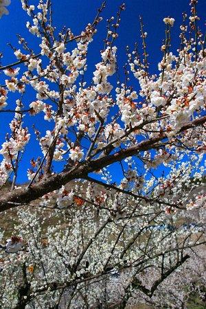 Hitoyoshi Pulm Garden: 春の人吉梅園・6