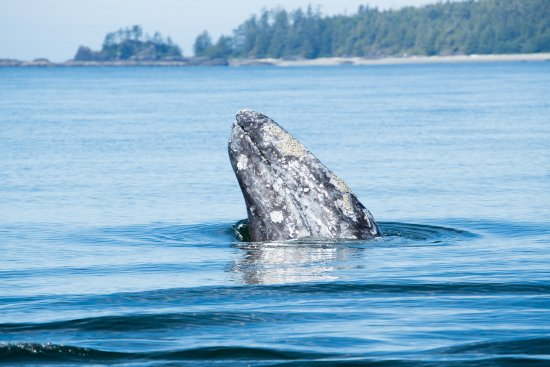 Ucluelet, Canada: Gray Whale feeding in shallow water