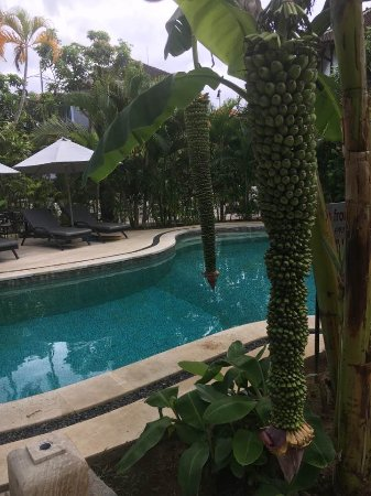 Bali Hotel Pearl : banana's growing right over the pool