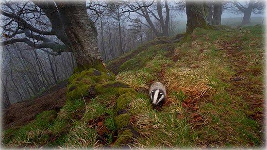 The Black Forest Germany >> European Badger Foraging In The Black Forest Germany