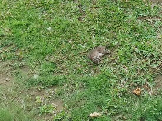 Dead rat on lawn outside room - Picture of Treasures of