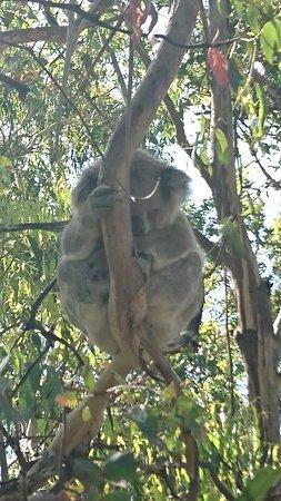 Cowes, Australien: 遊歩道の近くのお昼寝コアラ