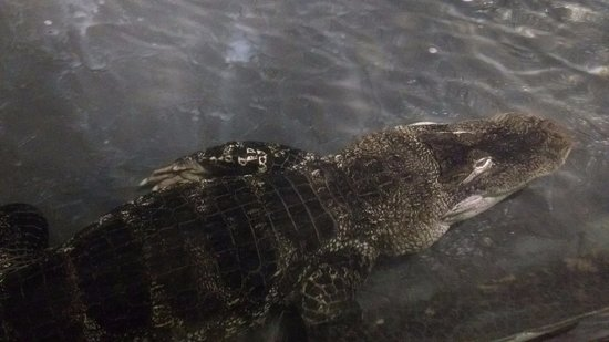 Reptilia Zoo and Education Centre : Não sei se é um crocodilo ou jacaré :/