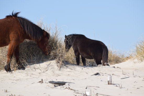 Corolla Wild Horse Fund, Inc. Tours: horse on the dunes