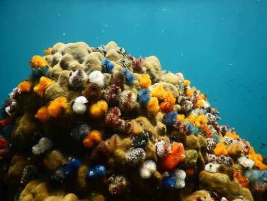 Christmas Tree Worm.Christmas Tree Worms Picture Of Sai Daeng Beach Koh Tao