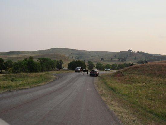 Custer State Park: stopping traffic