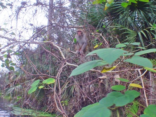 Silver Springs State Park: Rhesus monkey on a limb over the canoe trail in winter.