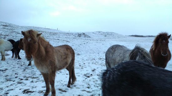 Vatnsholt: Iceland horses at guesthouse's farm