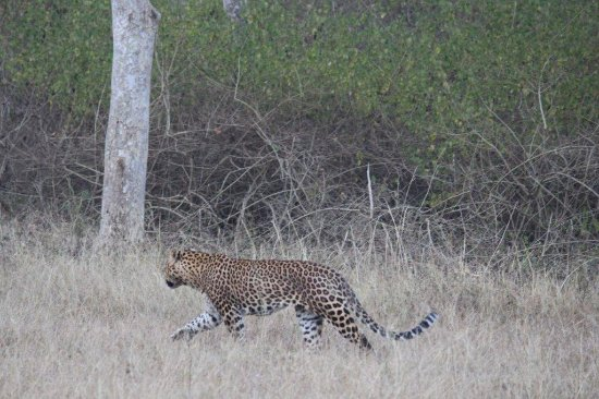 Bandipur National Park and Tiger Reserve: Leopard sighting