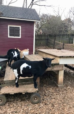 The Social Goat Bed & Breakfast: This is the social goat!