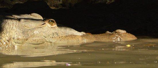crocodile in national park