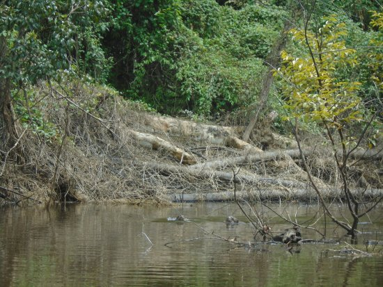 Giant River Otter- Pacaya Samiria-Amazon Experience