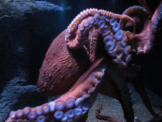 Ozeaneum: Krake