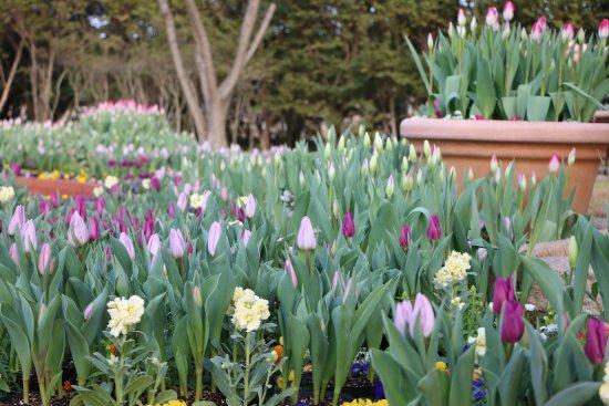 Uminonakamichi Seaside Park: 冬咲きチューリップ Tulip