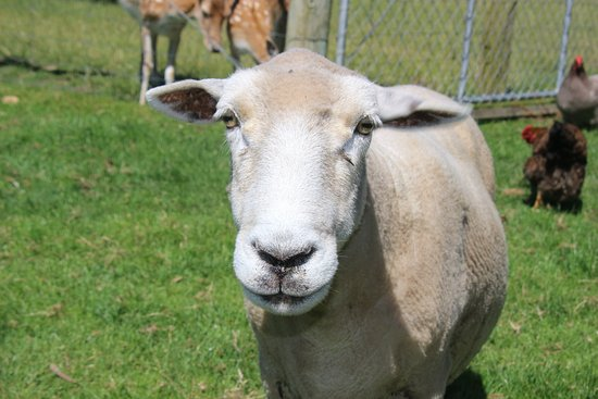 St Leonards Vineyard Cottages: Dudley - the friendliest sheep around :)