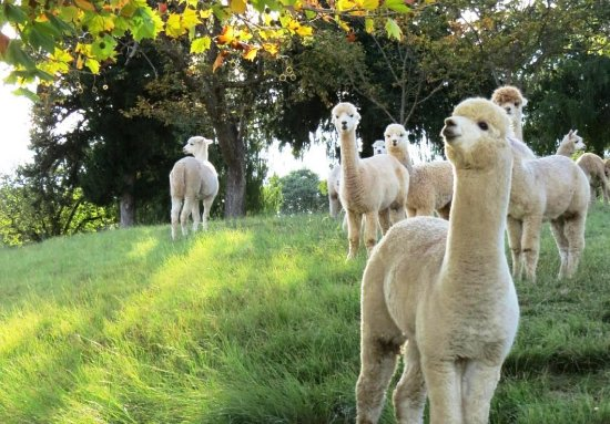 Bundanoon, Australia: Alpacas with their cute teddy bear like faces.