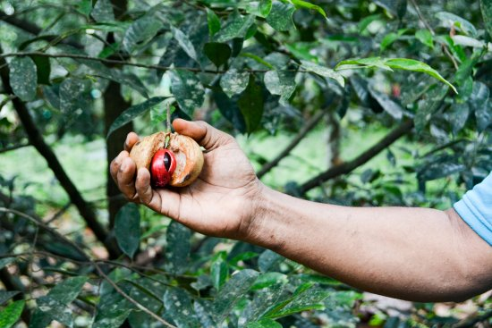 Karimannoor, India: Nutmeg on the Dewalokam farm