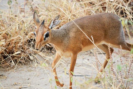 Tarangire National Park, Tanzania: DikDik :)