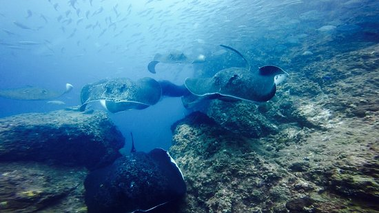 Wolf Rock Dive Centre: Bull Rays