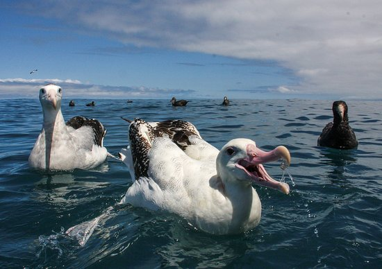 Albatross Encounter
